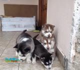 Haski štenci na prodaju