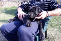 Cane corso(kane korso) štenci